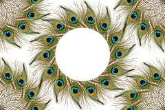 Beautiful peacock feathers as background with text copy space Royalty Free Stock Images