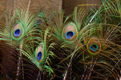 Beautiful Peacock feathers. Bird feather background Stock Image