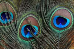 Beautiful peacock feathers Royalty Free Stock Photo
