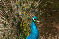 Beautiful peacock with feathers out Royalty Free Stock Photos