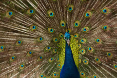 Beautiful peacock with feathers out Stock Photo