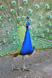 Beautiful peacock with feathers out Stock Photos
