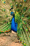 Beautiful peacock with feathers out Stock Image