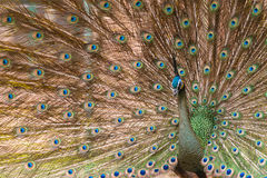 Beautiful peacock with feathers out Stock Photography