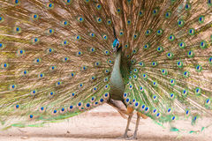 Beautiful peacock with feathers out Royalty Free Stock Image