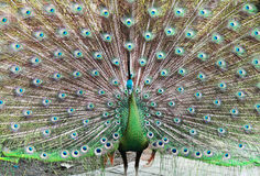 Beautiful peacock with feathers out Royalty Free Stock Photography