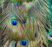 Beautiful peacock feathers Royalty Free Stock Photos