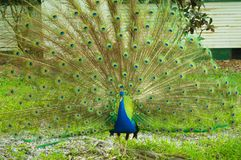 Peacock male close up picture image Royalty Free Stock Photography
