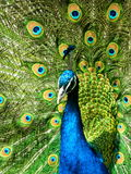 Beautiful Peacock. A beautiful peacock on grass Royalty Free Stock Image