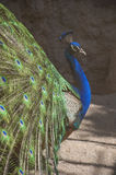 Beautiful peacock(indian peafowl),Turkey royalty free stock image