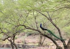 A beautiful Peacock in its habitat Royalty Free Stock Photo