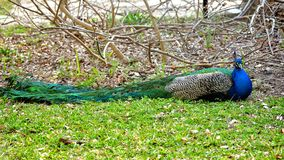 Beautiful Peacock lying on ground closeup shot royalty free stock photos