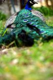 Beautiful Peacock lying on ground closeup shot royalty free stock image