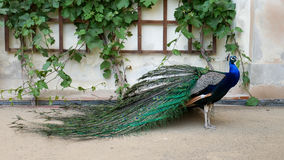 Beautiful peacock in the open garden. The male peacock with bright colorful feathers stands near the wall. Beautiful peacock in the open garden. The male royalty free stock images