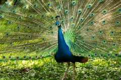 Beautiful peacock with open tail stock image