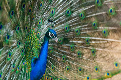 Beautiful peacock with opened tail Royalty Free Stock Images