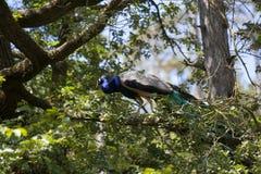 Beautiful peacock over a tree Stock Photos