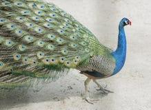 Beautiful peacock in plastic glasses Royalty Free Stock Photo