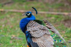 Beautiful peacock portrait. Beautiful peacock waking on the grass Royalty Free Stock Images