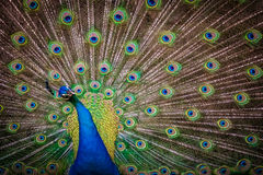 Beautiful Peacock Stock Photography