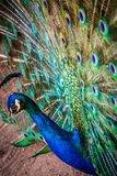 Beautiful Peacock Royalty Free Stock Photo