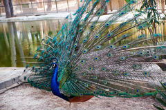 A beautiful peacock in Reina Sofia Park, Guardamar del Segura. Spain. Peacock in a park of Guardamar del Segura, Spain Royalty Free Stock Photos