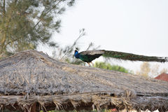 A beautiful peacock on the roof Royalty Free Stock Photo