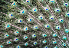 Beautiful peacock's feather Royalty Free Stock Images