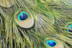 Beautiful peacock's feather Royalty Free Stock Photos