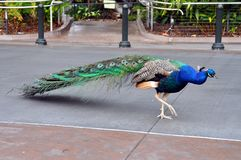 Beautiful peacock at San Diego zoo. Colorful peacock walking at San Diego zoo Stock Photography
