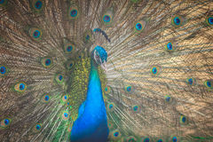 Beautiful peacock showing beautiful plumage and spreading tail-f Stock Image