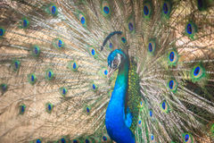 Beautiful peacock showing beautiful plumage and spreading tail-f Royalty Free Stock Images