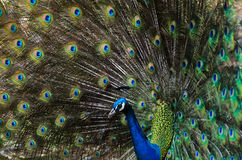 Beautiful peacock showing its feathers Royalty Free Stock Image
