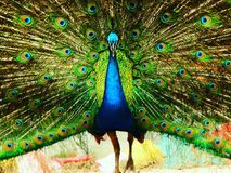 Beautiful peacock!!! Stock Image