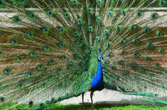 Beautiful peacock with spread tail-feathers. Beautiful green peacock with spread tail-feathers Royalty Free Stock Image