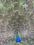 A Beautiful Peacock Stock Photo