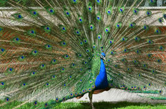 Beautiful peacock spreading tail-feathers. Beautiful green peacock spreading tail-feathers Royalty Free Stock Images