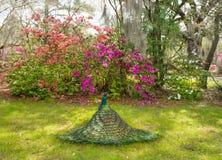 Beautiful Peacock spreading wings in garden. Stock Photos