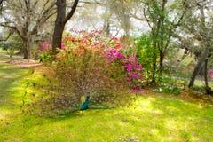 Beautiful Peacock spreading wings in garden. Royalty Free Stock Photos