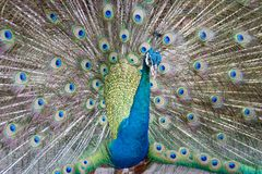 Beautiful peacock straightened fluffy tail with multi-colored feathers: blue and green royalty free stock images