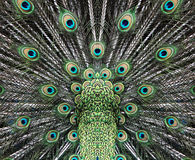 Beautiful peacock tail Stock Images