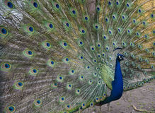 Beautiful peacock with tail. Beautiful peacock with flowing tail Royalty Free Stock Images