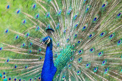Beautiful peacock tail Royalty Free Stock Photos