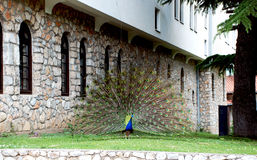 Beautiful peacock with tail spread. Beautiful peacock with tail spread in the area of ​​the monastery St. Naum Ohrid, Macedonia Royalty Free Stock Image