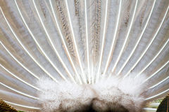 Beautiful peacock tail Stock Photography
