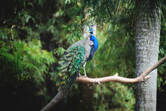 A beautiful peacock on a tree Royalty Free Stock Photos