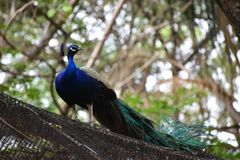Beautiful peacock between trees in forest royalty free stock photo
