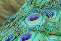 Beautiful peacock walking around Stock Image