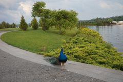 Beautiful peacock walks in the park on the pavement. royalty free stock photos