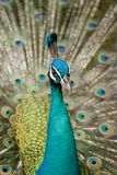 Beautiful peacock in wild nature Stock Photography